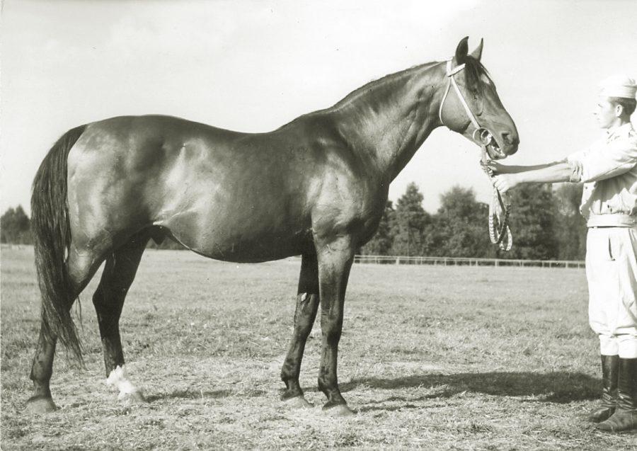 og. Shagya x-32-o, ur. 1951