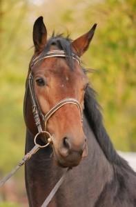 Rasa polski koń szlachetny półkrwi