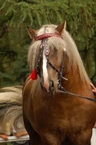 Rasa polski koń zimnokrwisty